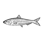 Sardine (Pilchard)