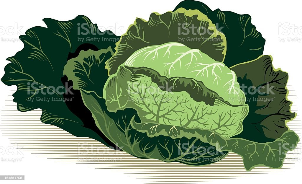 Savoy cabbage royalty-free stock vector art