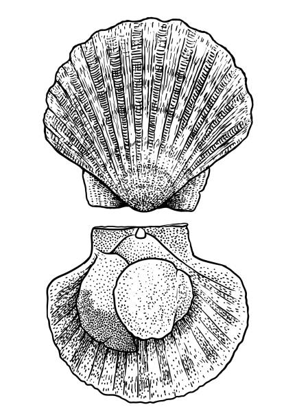 scallop illustration, drawing, engraving, ink, line art, vector - scallop stock illustrations, clip art, cartoons, & icons