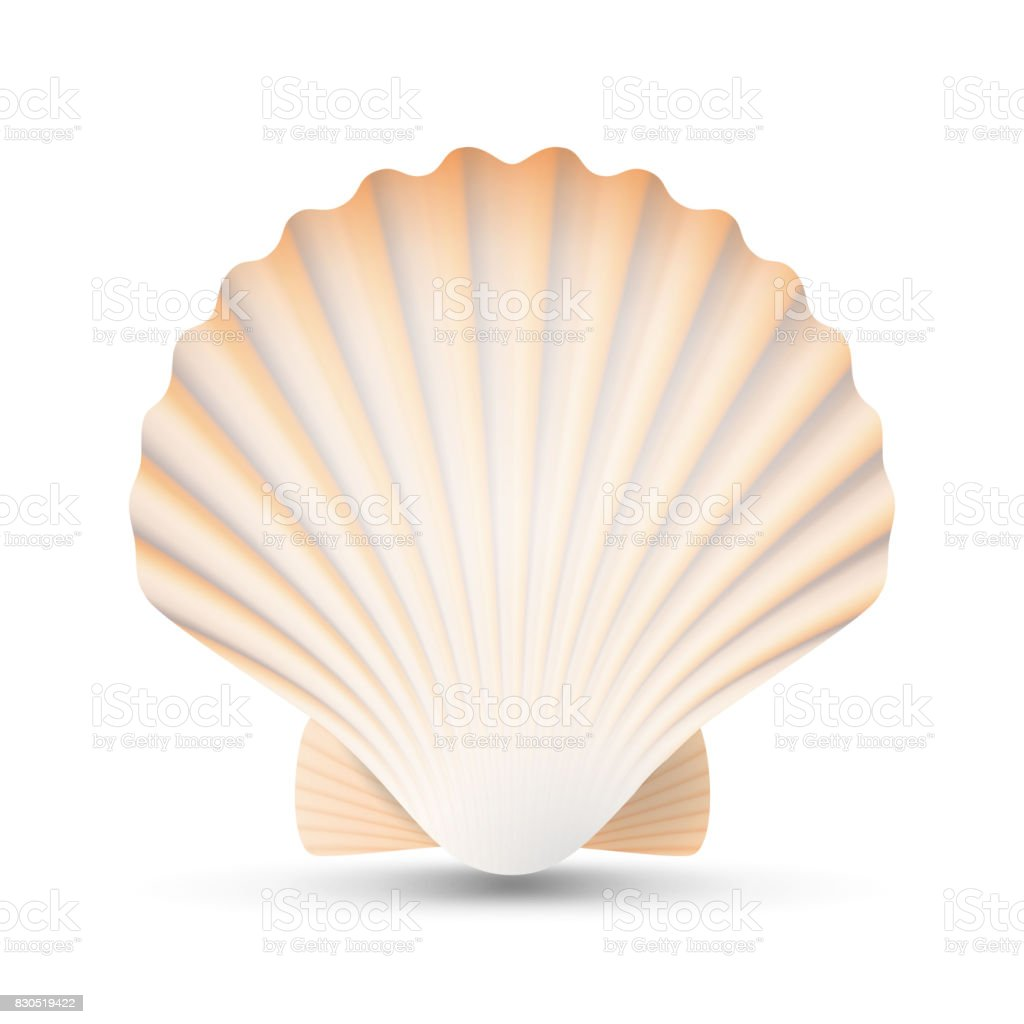 Pétoncle coquillage Vector. Beauté exotique Souvenir coquille de pétoncles isolée On White Background Illustration - Illustration vectorielle