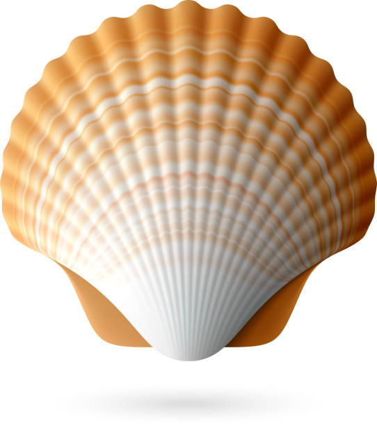 stockillustraties, clipart, cartoons en iconen met scallop seashell - zeeschelp