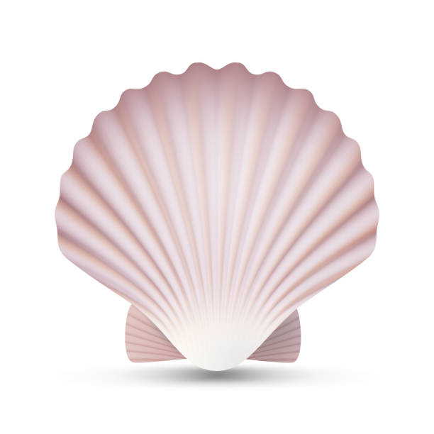 scallop seashell vector. ocean mollusk sea shell close up. isolated. illustration - scallop stock illustrations, clip art, cartoons, & icons