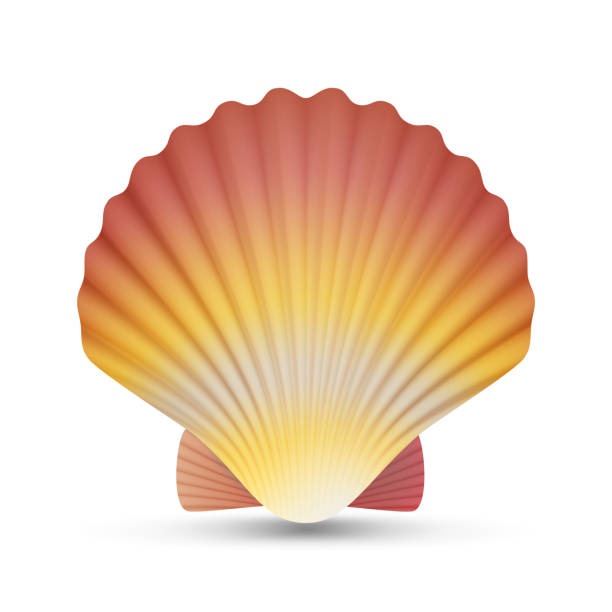 ilustrações de stock, clip art, desenhos animados e ícones de scallop seashell vector. realistic scallops shell isolated on white background illustration - algarve