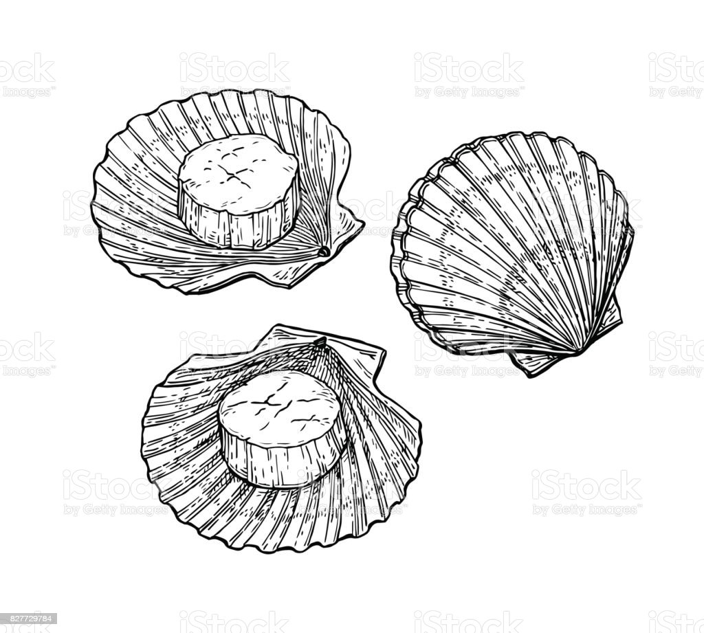 Scallops Ink Sketch Stock Vector Art & More Images of Animal ...