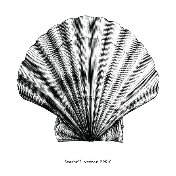 stockillustraties, clipart, cartoons en iconen met gekarteld seashell vintage illustraties - zeeschelp