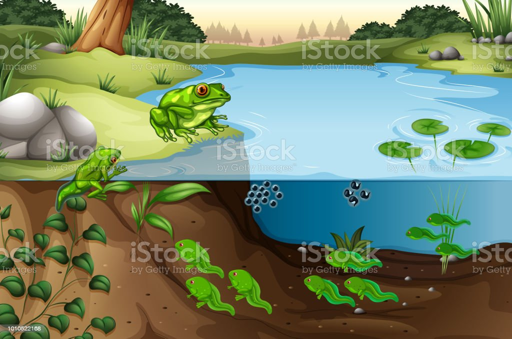 Scene of frogs in a pond - Royalty-free Amphibian stock vector