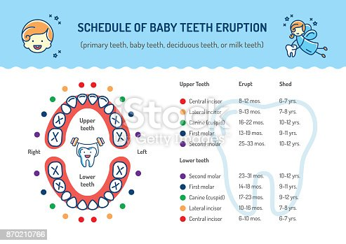 Schedule of Baby Teeth Eruption. Baby mouth, Primary teeth, deciduous teeth. Childrens dentistry infographics Dental care thin line art icons. Vector outline elements