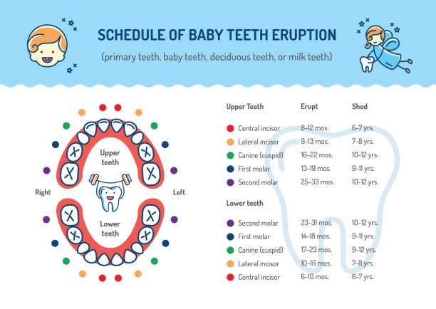 illustrazioni stock, clip art, cartoni animati e icone di tendenza di schedule of baby teeth eruption. primary teeth, deciduous teeth. childrens dentistry infographics dental care - scheda clinica