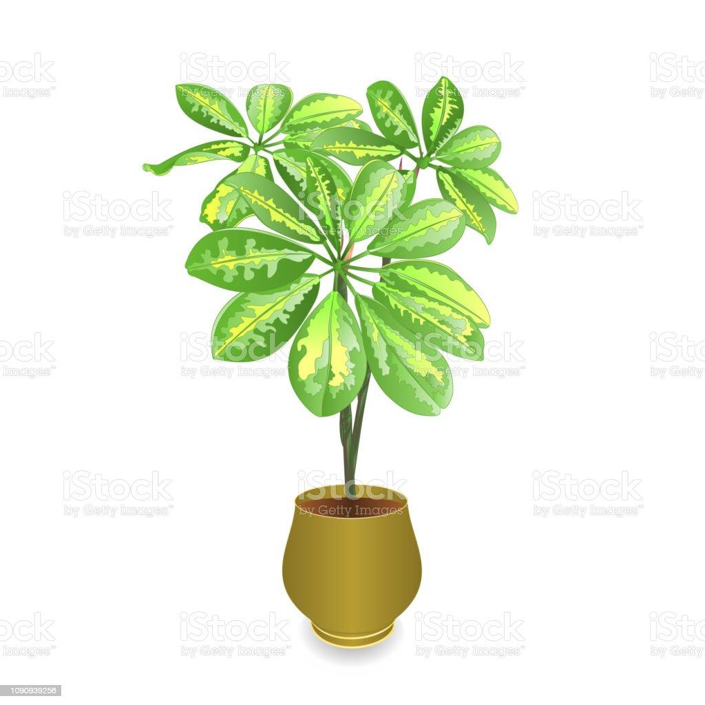 Schefflera Plant In Pot On White Background For Interior Design Vintage Vector Illustration Editable Stock Illustration Download Image Now Istock