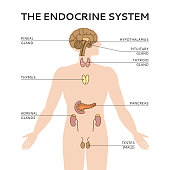 Schematic colorful vector illustration of male endocrine system