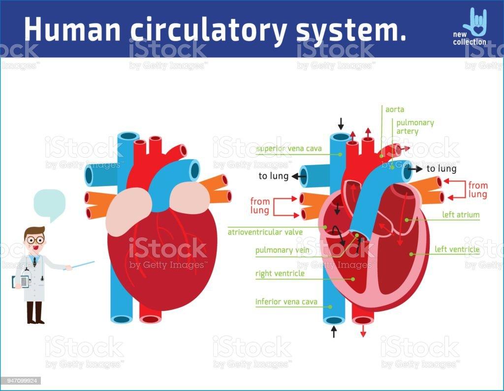 Schematic Of Heart Anatomy Vector Illustration Flat Icon Cartoon ...