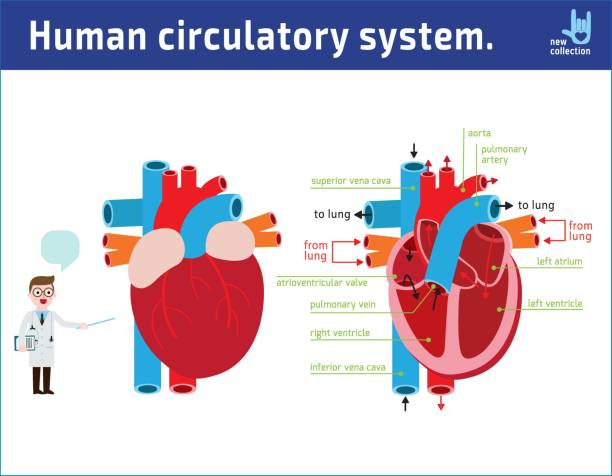 Schematic of heart anatomy. vector illustration flat icon cartoon design. medical concept. isolated on white background. vector art illustration