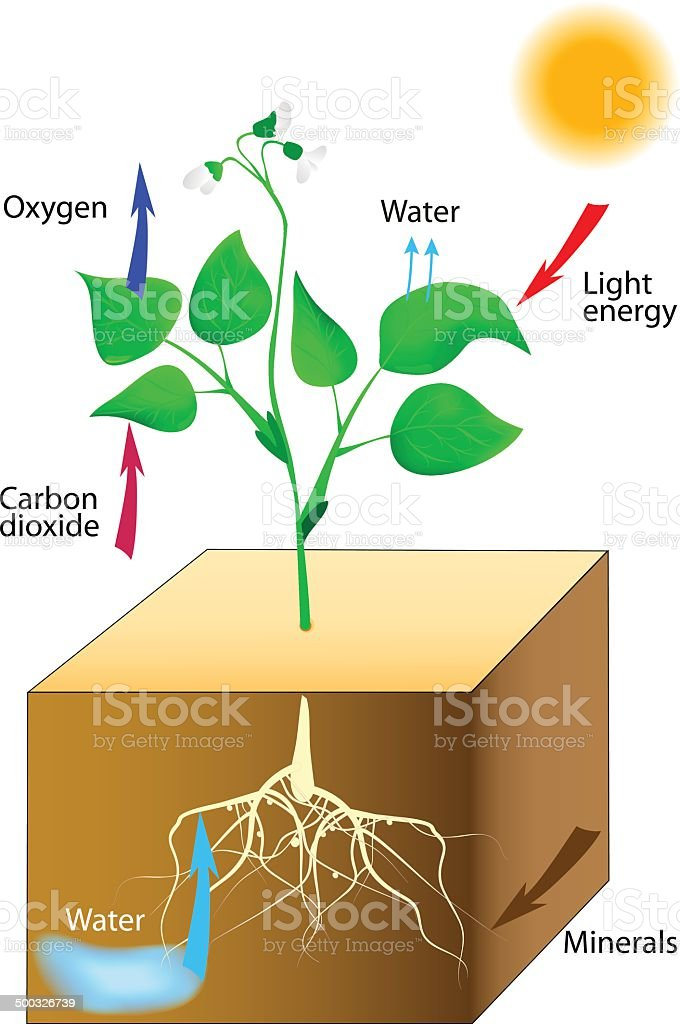 Schematic of photosynthesis in plants vector art illustration