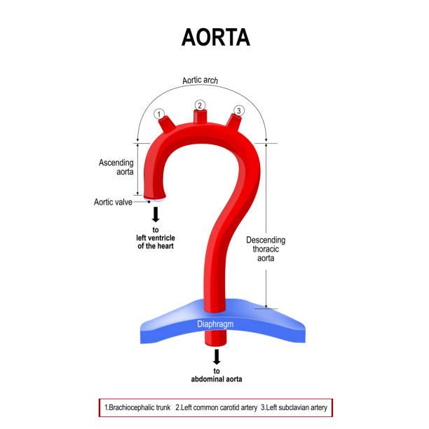 Schematic view of the aorta segments vector art illustration