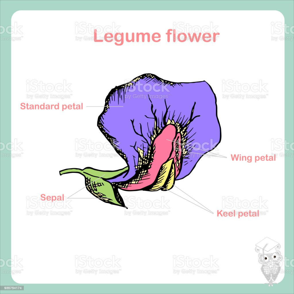 Scheme of legume flower structure learning biology stock vector art scheme of legume flower structure learning biology royalty free scheme of legume flower structure ccuart Choice Image