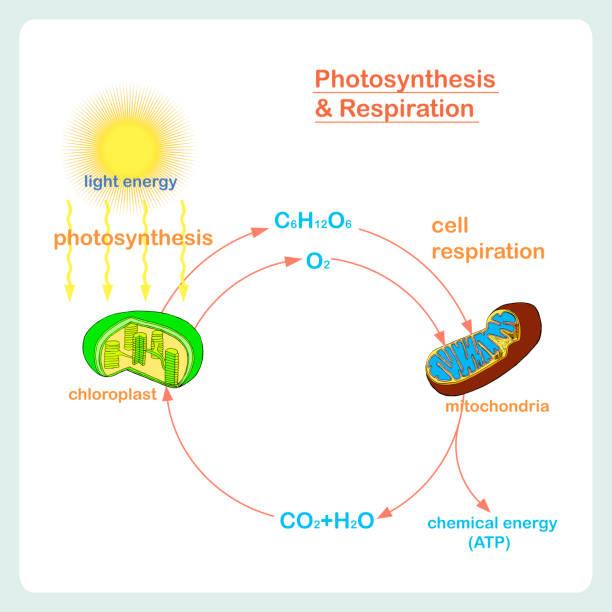 schema der photosynthese und atmung, handgezeichnete biologie - stoffwechsel stock-grafiken, -clipart, -cartoons und -symbole