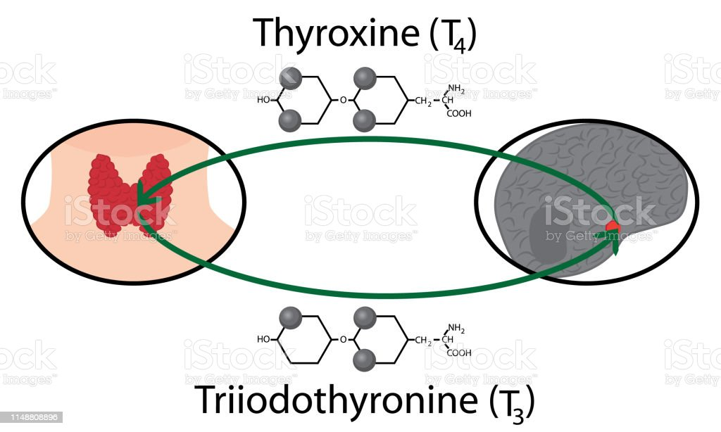 Scheme Of Thyroid Function Structural Chemical Formulas Of Thyroid