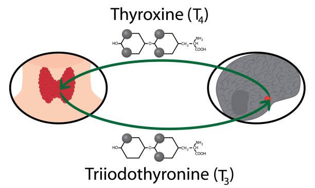 ilustraciones, imágenes clip art, dibujos animados e iconos de stock de esquema de la función tiroidea. las fórmulas químicas estructurales de las hormonas tiroideas - thyroxine