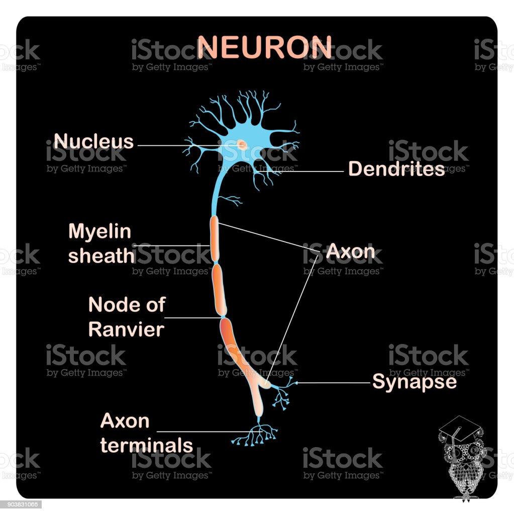 Scheme Of Tipical Anatomy Neuron Structure For School Education ...