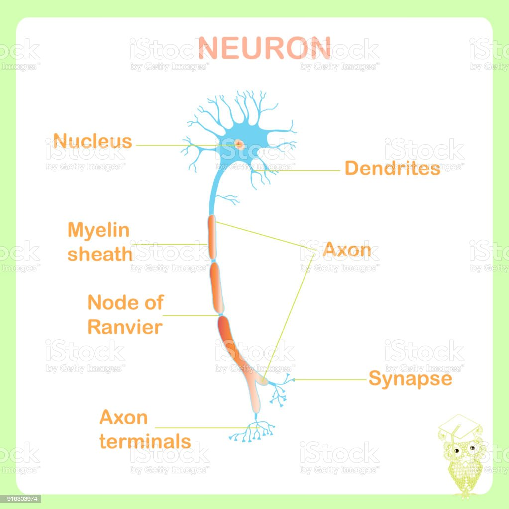 Scheme of typical anatomy neuron structure for school education stock vector vector art illustration
