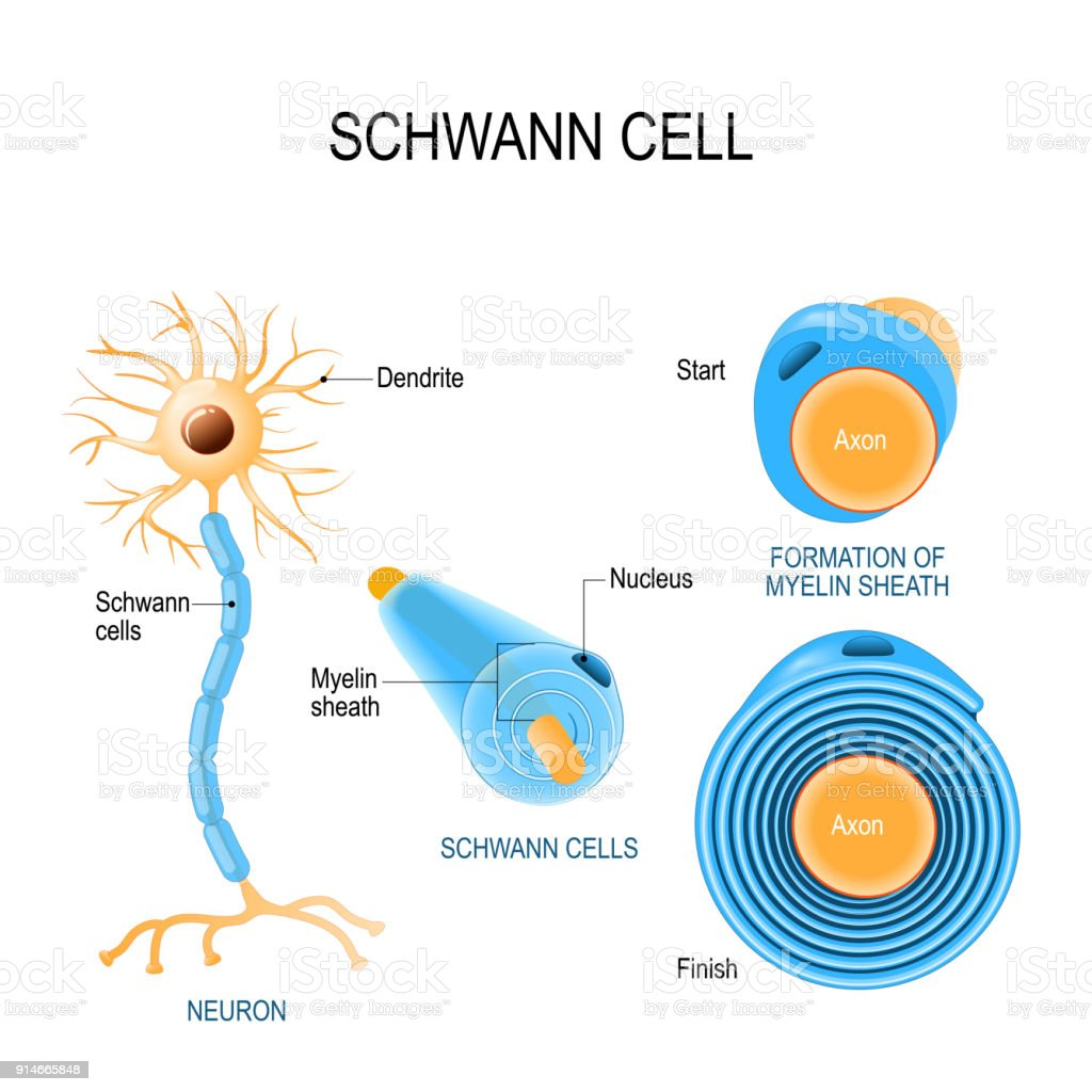 Schwann cells. Structure of neurolemmocytes. Schwann cells. Structure of neurolemmocytes. Anatomy of a typical human neuron Anatomy stock vector