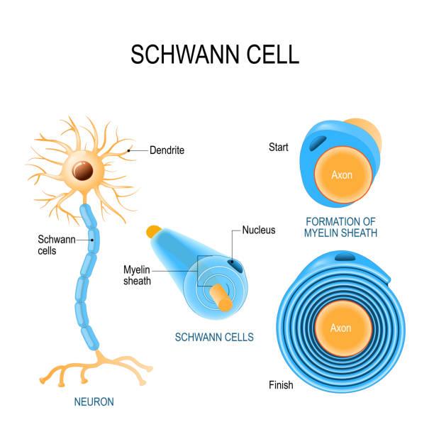 Schwann cells. Structure of neurolemmocytes. Schwann cells. Structure of neurolemmocytes. Anatomy of a typical human neuron neural axon stock illustrations