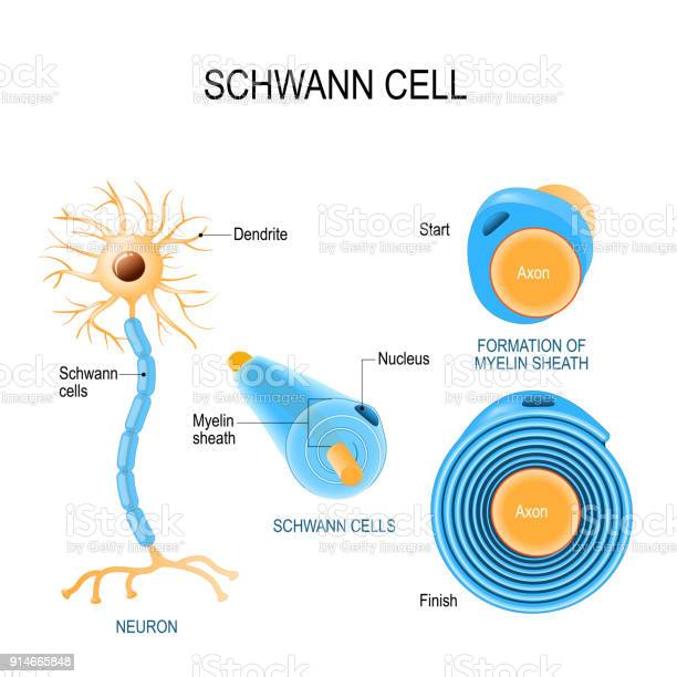 Schwann Cells Structure Of Neurolemmocytes Stock Illustration - Download Image Now