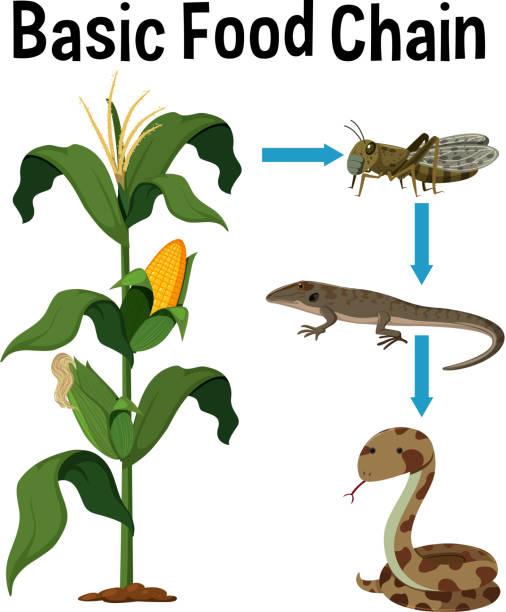 science basic food chain - пищевая цепь stock illustrations