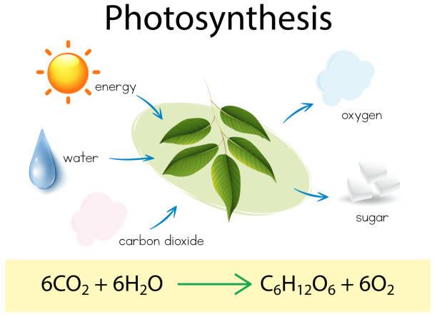 eine naturwissenschaftliche bildung der photosynthese - stoffwechsel stock-grafiken, -clipart, -cartoons und -symbole