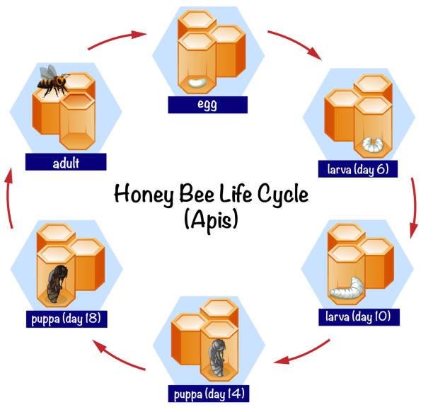 stockillustraties, clipart, cartoons en iconen met wetenschap honing honingbij levenscyclus - larve