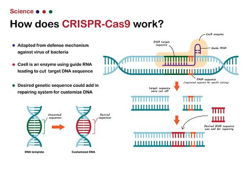 Science illustration show  CRISPR - Cas 9 work for cut and edit DNA genetic sequence as novel technique of molecular engineering