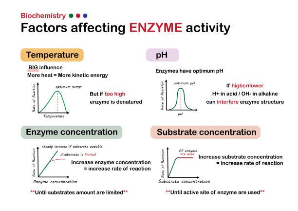 wissenschaftliches infografikdiagramm zeigt faktoren, die die enzymaktivität beeinflussen - enzyme stoffwechsel stock-grafiken, -clipart, -cartoons und -symbole