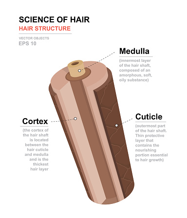 Science of hair. Anatomical training poster. Hair structure. Detailed medical vector illustration