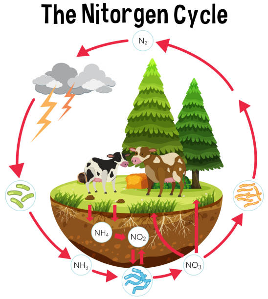 illustrazioni stock, clip art, cartoni animati e icone di tendenza di a science poster of nitrogen cycle - azoto