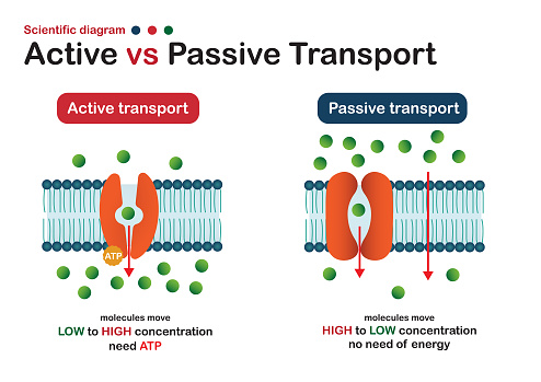 Scientific diagram show difference of active and passive transport for molecule movement in cell