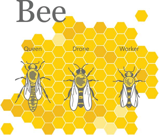 Scientific image of bees on the background of honeycombs Line art illustration. queen bee stock illustrations