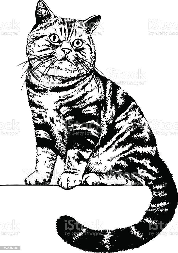 Gatto disegno scozzese immagini vettoriali stock e altre - Gatto disegno modello di gatto ...