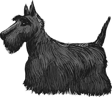 Scottish terrier, side view