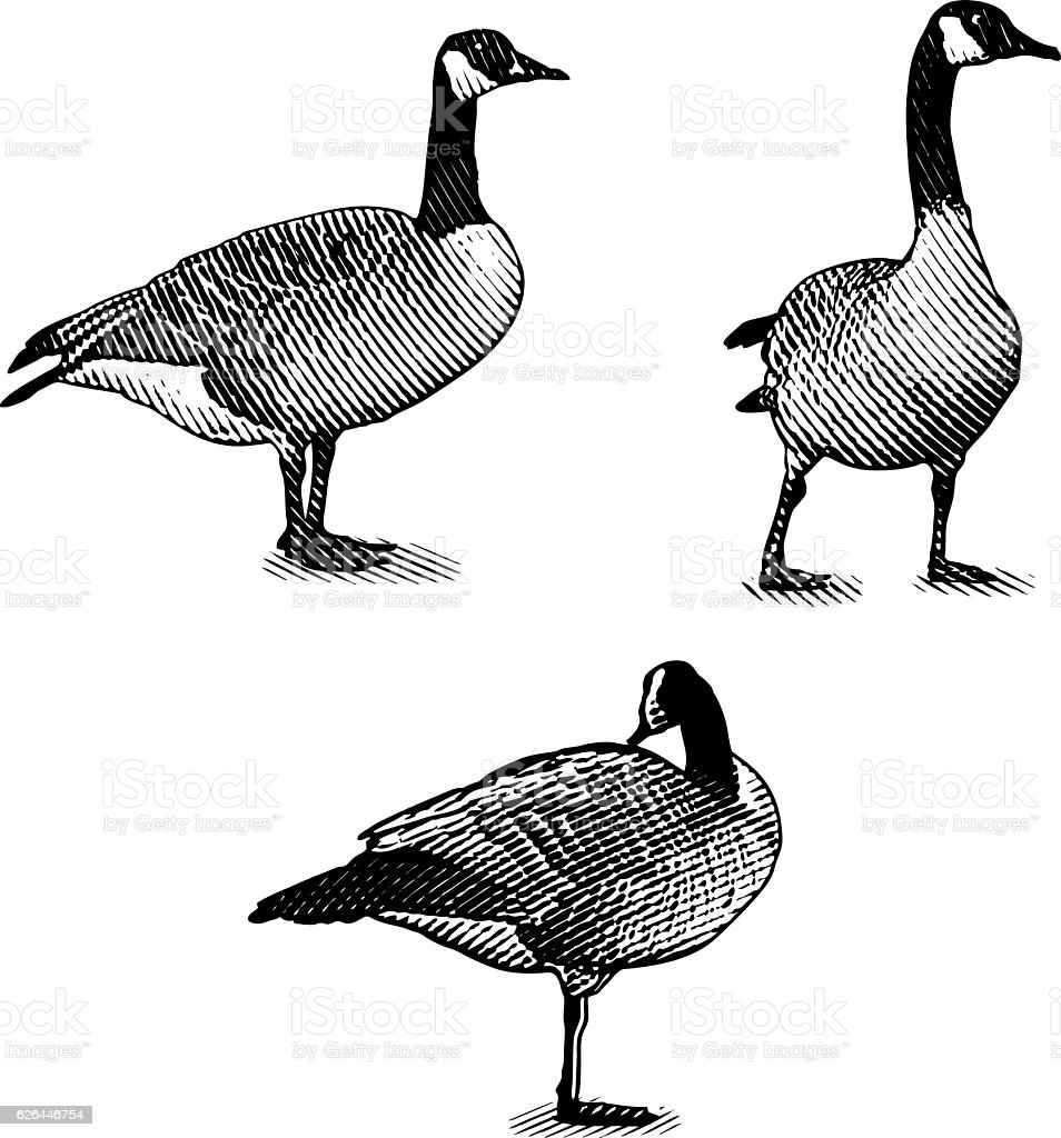 Scratchboard style Illustrations of Canada Geese - Illustration vectorielle