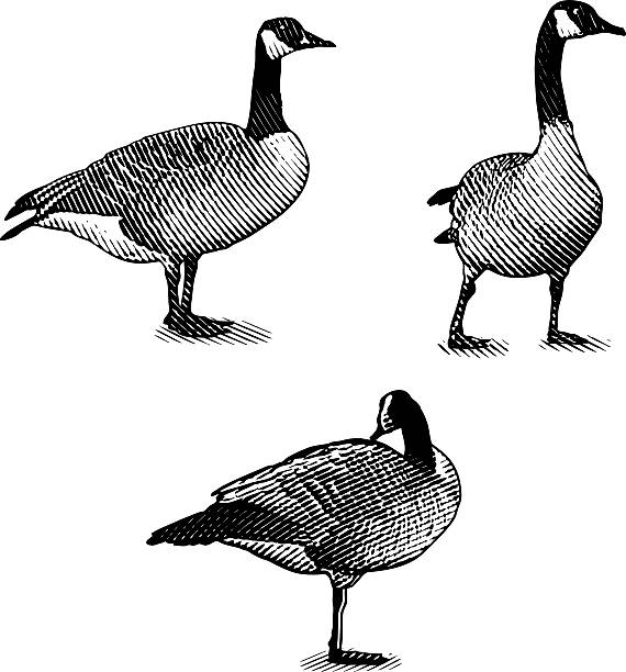 Scratchboard style Illustrations of Canada Geese Set of Scratchboard style illustrations of Canada Geese.  canada goose stock illustrations