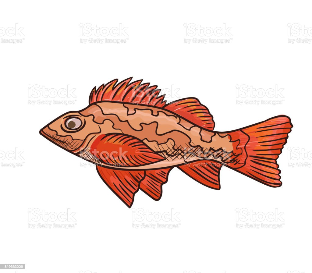 Sea Bass Vector Icon Isolated Hand Drawn Sketch Of Red Sea Fish ...
