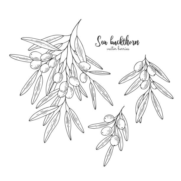 바다 갈 매 나무속 열매 분기는 흰색 절연 합니다. 유기농 에센셜 오일 새겨진된 스타일 밑그림입니다. 건강과 아름다움 자연 제품의 패키지 디자인. 건강 한 음식입니다. - 씨벅턴 stock illustrations