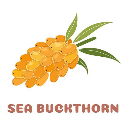 Sea buckthorn vector illustration. Flashcard for kids.