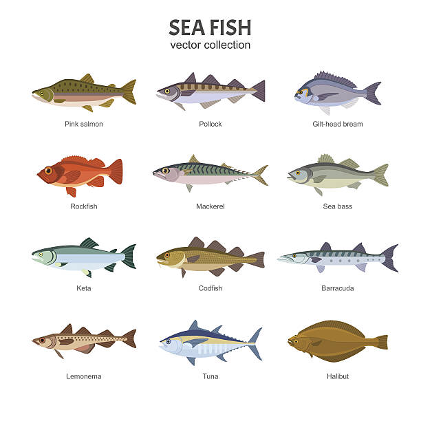Sea fish vector collection. Vector illustration of different types of saltwater fish, such as Pink salmon, Pollock, Gilt-head bream, Rockfish, Mackerel, Sea bass, Keta, Codfish. Isolated on white. living organism stock illustrations