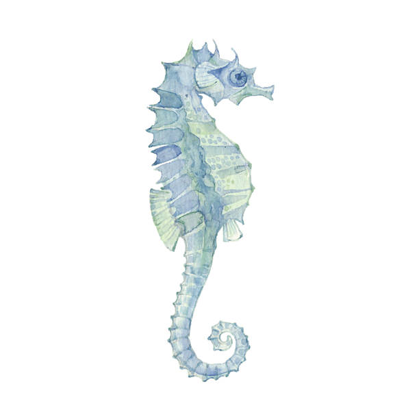 Sea horse isolated on a white background.Vector. Watercolor illustration of sea horse, design element. sea horse stock illustrations