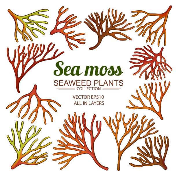 sea moss set sea moss set on white background moss stock illustrations