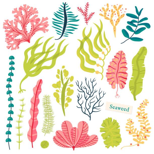 Sea plants and aquatic marine algae. Seaweed set vector illustration isolated on white Sea plants and aquatic marine algae. Seaweed set vector illustration isolated on white coral colored stock illustrations