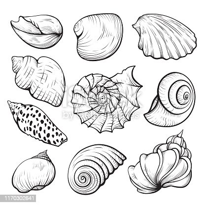 Sea shell hand drawn illustration set. Various underwater creatures sketches. Marine mollusk, beach shells, monochrome scallops collection. Tropical souvenirs isolated on white background