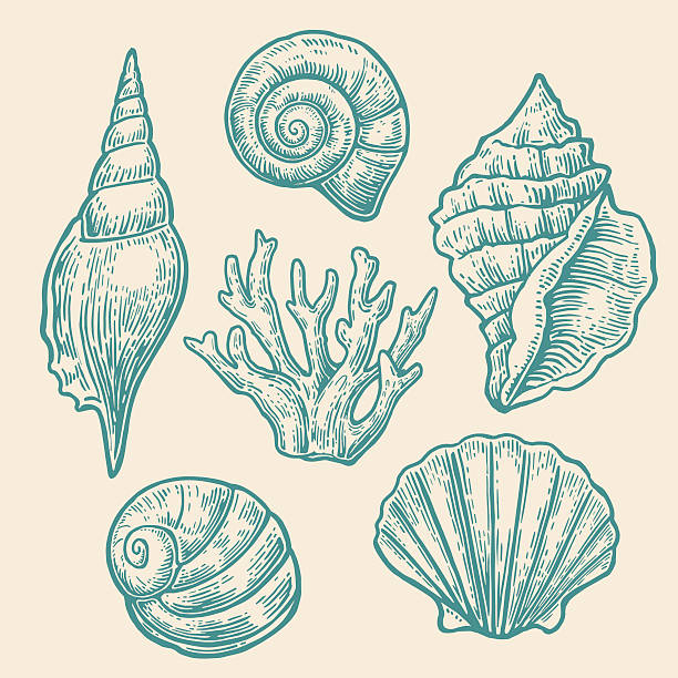sea shell. set color engraving vintage illustrations. - seashell stock illustrations, clip art, cartoons, & icons