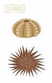 Sea urchin (hedgehog)